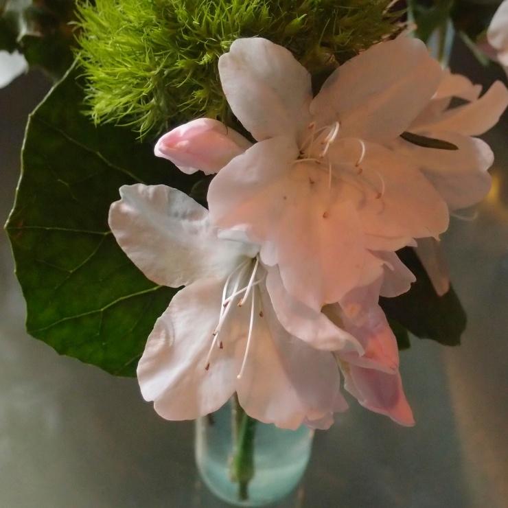 white azaleas/spring