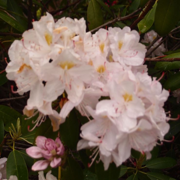 rhododendrons/flowers