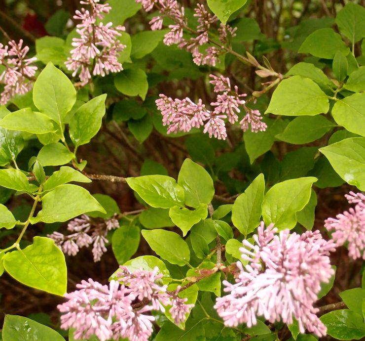 lilacs/flowers