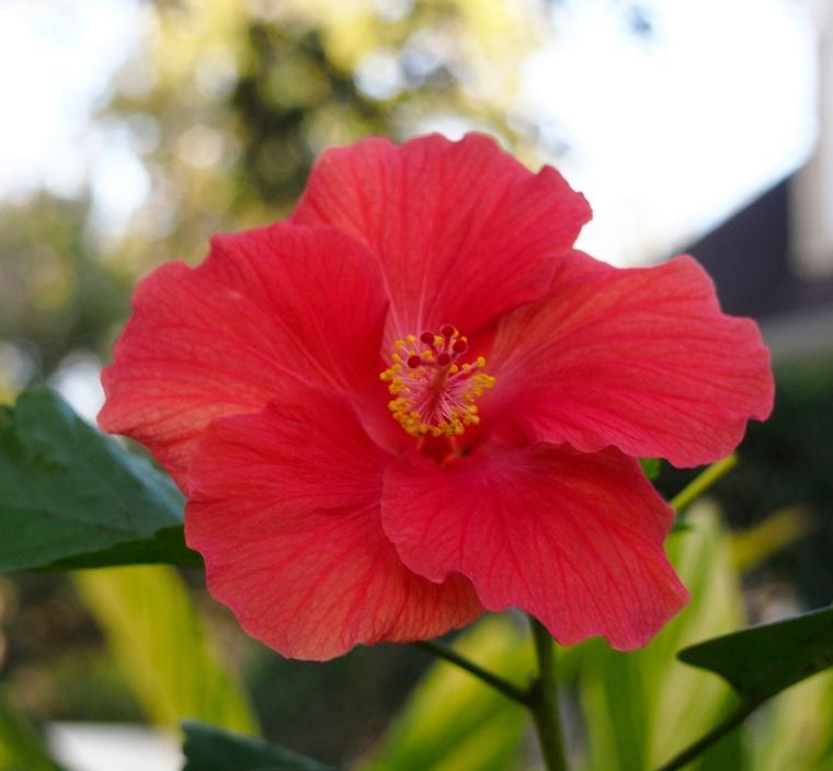 flower/hibiscus