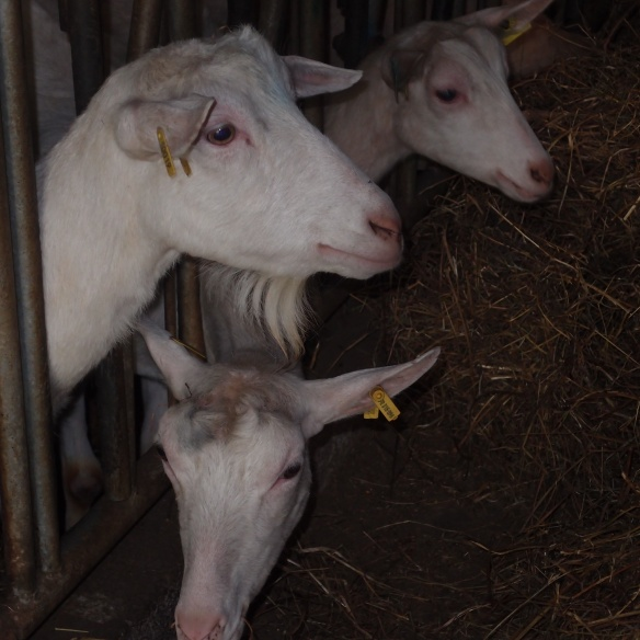 French goat farm
