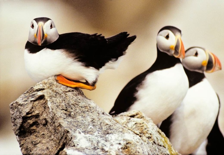Puffins on Matinicus Rock Peter Ralston
