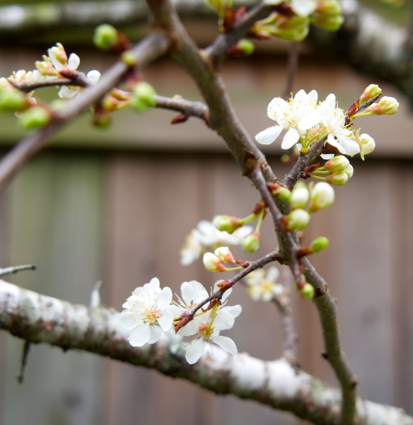 pear tree/spring