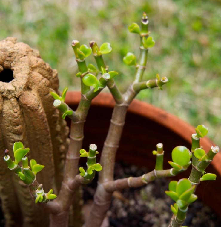 jade tree/spring