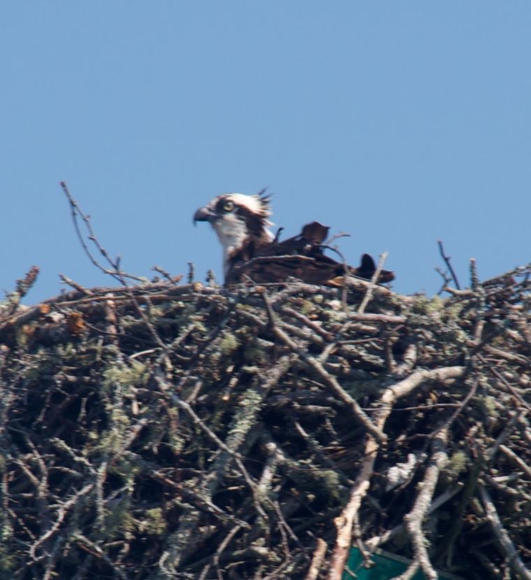 osprey/maine