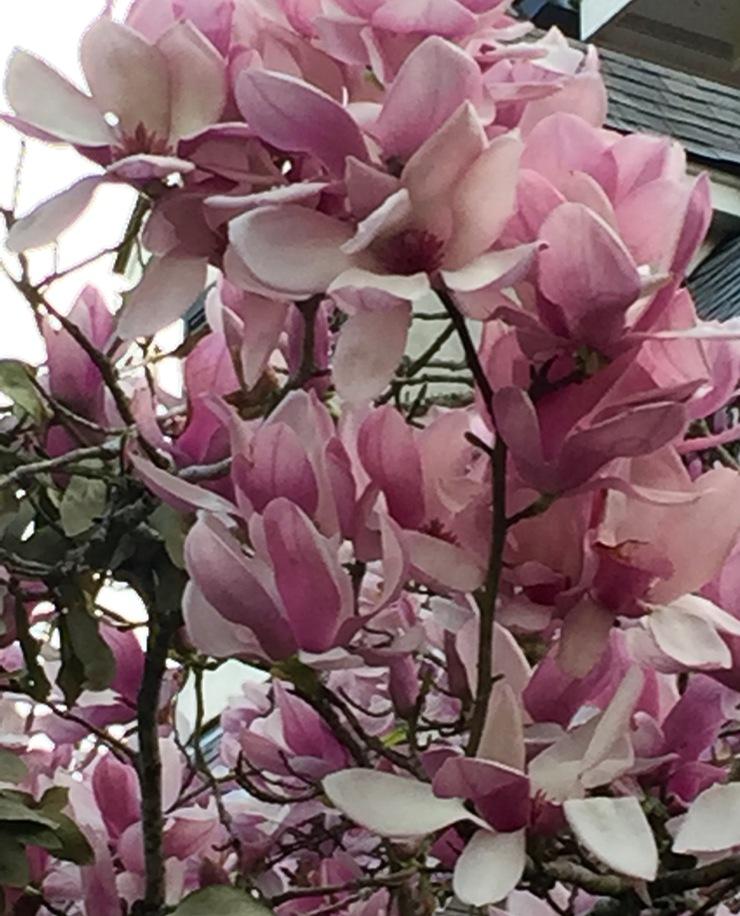 tulip tree/spring