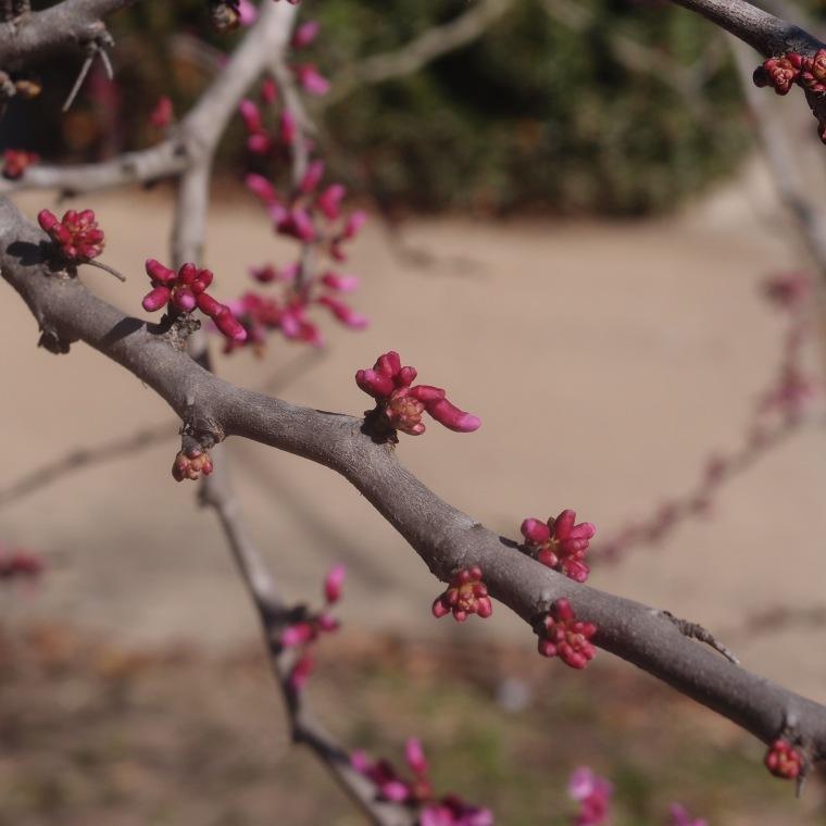 redbud/spring